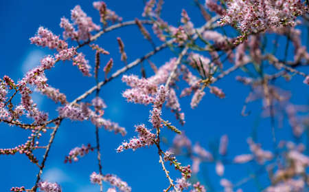 Tamarisk, pink flowers, blooming, grow on saline soils. Sunny day, blue sky  background. Tamarix also known as salt cedar blossoming branches closeup view.