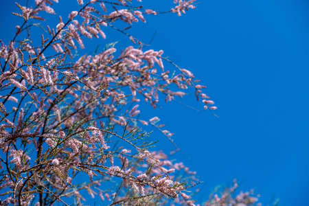 Tamarisk, tamarix, salt cedar, barley, savory, partial branches of tree or shrub. Evergreen deciduous plant, pink flowers, blooming, ornamental, flora, grow on saline soils. Day, blue sky  background.