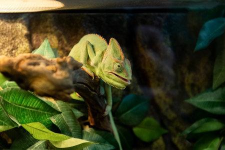 Cute green chameleon basks under lamp in aquarium