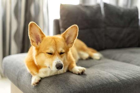Cute ginger welsh corgi pembroke dog sleeps on the sofa in living room