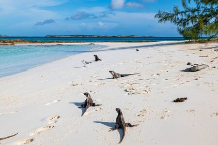 The famous wild iguanas of Allen's Cay beach (Great Exuma, Bahamas).