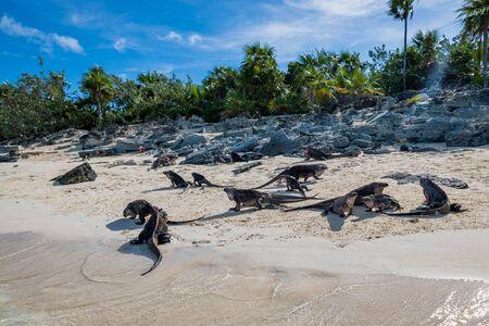 The famous wild iguanas of Allen's Cay beach (Great Exuma, Bahamas).