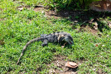 An isolated iguana in Tulum National Park along the Riviera Maya (Tulum, Yucatan, Mexico).