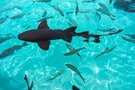 Nurse sharks in Compass Cay (Great Exuma, Bahamas).