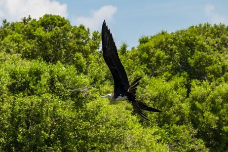 Frigate birds in the nature reserve of Contoy island in the caribbean sea (Quintana Roo, Mexico).