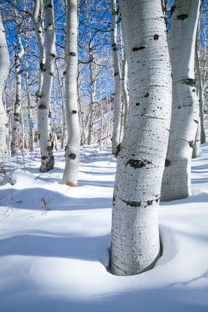 high sierra: Trunks of aspen trees standing tall in two feet of fresh powder high in the California Sierra Nevada mountains Stock Photo