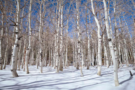Winter quaking Aspen grove in fresh snow powder with clear blue sky