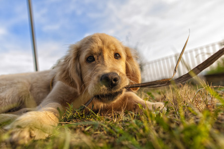 staunch: Puppy Golden Retriever play