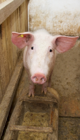 pig standing up and staring at the camera inside the piggery photo