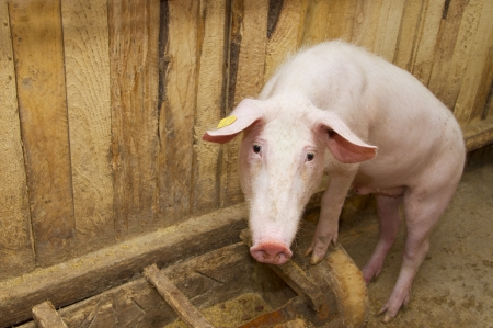 omnivores: pig standing up and staring at the camera inside the piggery