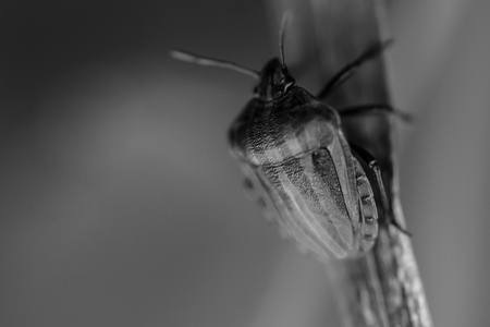 blak white:  closeup for a  shield bug in the nature