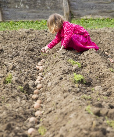 coutryside: Little girl helping in planting seed potatos in earth at country-side.