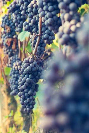nebbiolo: Bunch of grapes ready for harvest