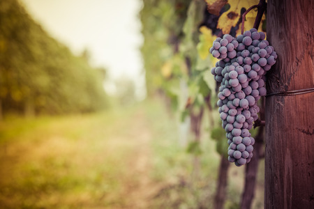 viñedo: Racimo de uvas listas para la cosecha en el Langhe
