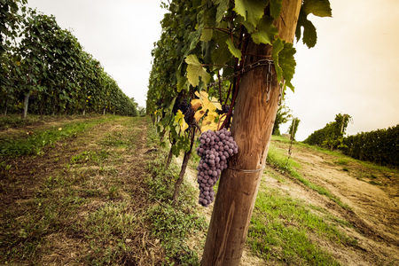 nebbiolo: Bunch of grapes ready for harvest in the Langhe