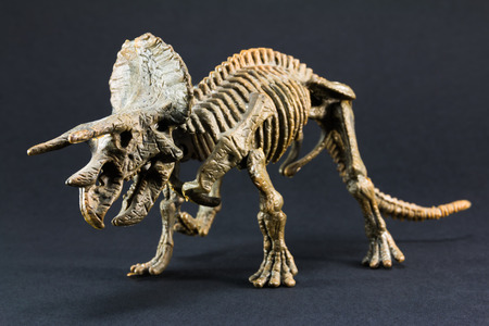 triceratops: Triceratops fossil dinosaur skeleton model toy on black background