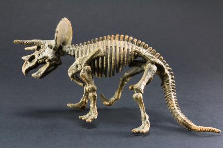 darwinism: Triceratops fossil dinosaur skeleton model toy on black background