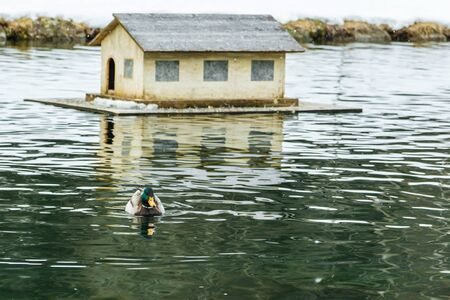 wild duck swimming in pond lake in winter scenery, little house in background photo
