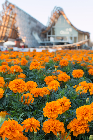 patula: Field of Tagetes Patula Flowers, Orange Marigolds at Universal Expositions Pavilion in Milan, Italy 2015