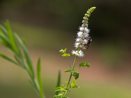Black Cohosh: White Efflorescence and Bee Stock Photo
