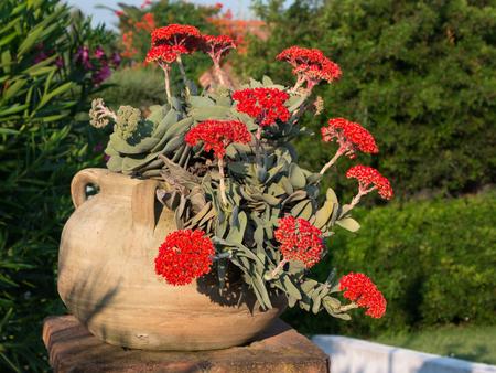 falcata: Red Crassula Falcata Flower, Airplane Plant or Propeller Plant