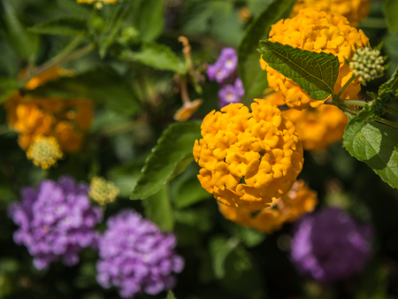 Yellow and Violet Flower Lantana Camara Stock Photo
