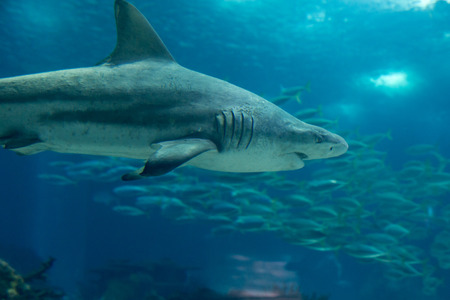 Real Sand Tiger Shark Underwater in Natural Aquarium Stock Photo