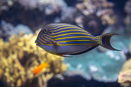 Beautiful Blue Lined Surgeonfish, Acanthurus lineatus, inside Aquarium Stock Photo