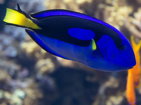 Beautiful Paracanthurus Hepatus inside Aquarium: Indo-Pacific Surgeonfish