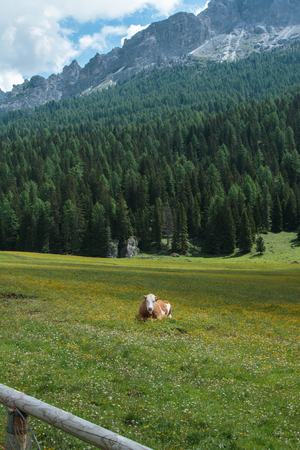Brown and White Spotted Cow Pasturing in Grazing Lands: Italian Dolomites Alps Scenery near Misurina Lake