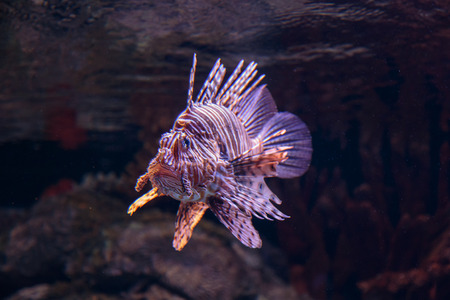The Coral Reef Red Lionfish, Pterois Volitans Stock Photo - 85199809