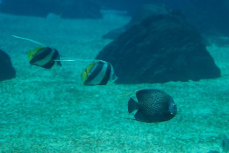Beautiful Pearlscale Butterflyfishes, Chaetodon xanthurus inside