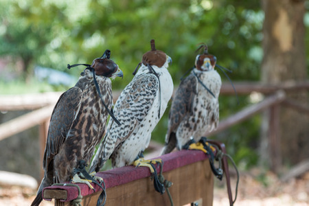 Brown and White  Falcons in Line with Leather Hooded