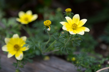 herbaceous: Yellow Buttercups, Anemones Flowers, Herbaceous Perennial Plant inside Wooden Vase Stock Photo