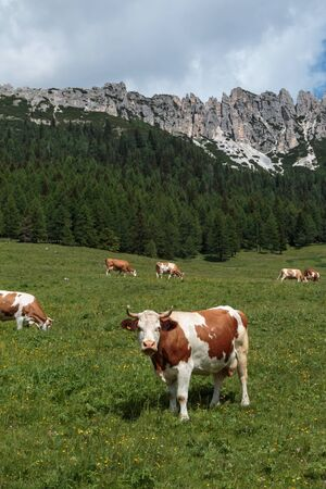 Brown and White Cows Pasturing in Grazing Lands: Italian Dolomites Alps Scenery