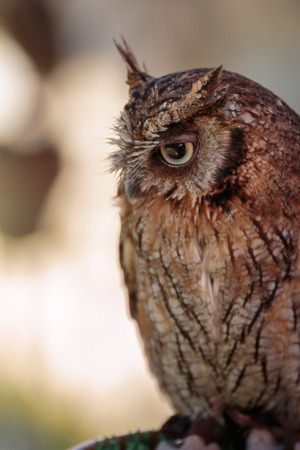 Beautiful Great Brown Horned Owl, Birds Theme.