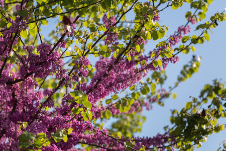 Blossoming Cercis siliquastrum Branch, Judas Tree with Pink Flowers against Blue Sky