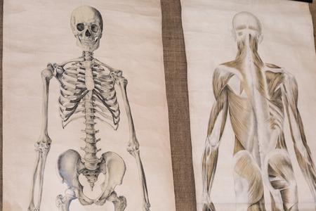 Two Drawing of Human Anatomy: Skeleton and Torso Musculature. 版權商用圖片