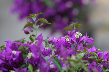 Small white flowers with purple leaves in a garden stock photo small white flowers with purple leaves in a garden stock photo 93410996 mightylinksfo
