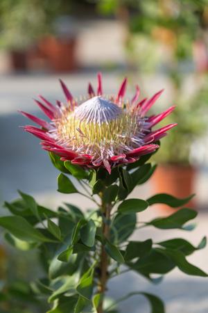 King Protea: Beautiful Protea Cynaroides Flower Close-up. Stock Photo