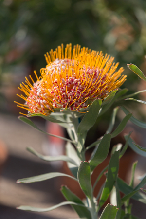 Leucospermum Erubescens Evergreen Shrub: Flowering Plant in the Family Proteaceae.