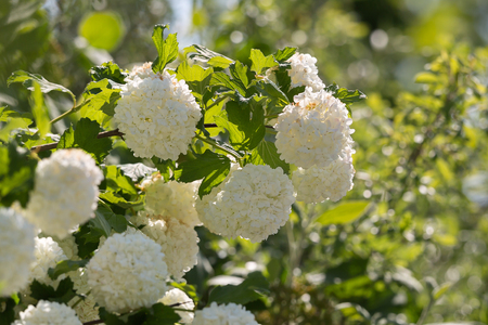 Ornamental Plant Snowball Viburnum White Flowers and Green Leaves Stock Photo