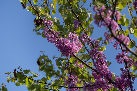 Blossoming Cercis siliquastrum Branch, Judas Tree with Pink Flowers against Blue Sky.