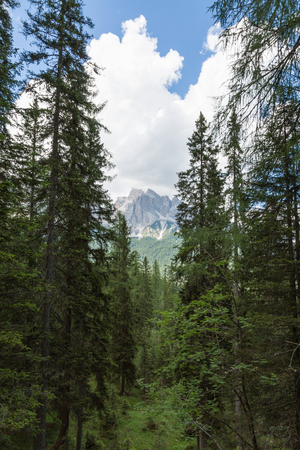 Forest: Group of Green Firs in Summer Time and Peak of Italian Dolomites Alps in Background. Standard-Bild