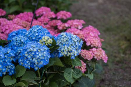 Blue and Pink Hortensia Flowers, Hydrangea in a Garden. Standard-Bild