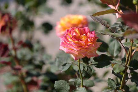 Orange and Pink Rose Flower with Green Leaves in the Garden.