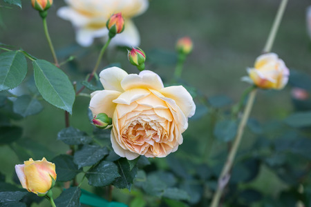 Yellow Rose Flower with Green Leaves in the Garden.