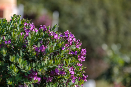 Beautiful purple flowers with green leaves inside green bush stock beautiful purple flowers with green leaves inside green bush stock photo 99399106 mightylinksfo