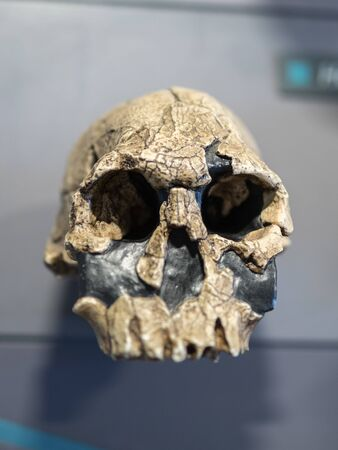 Reconstruction of a Human Skull of Prehistoric Ages. Stock Photo