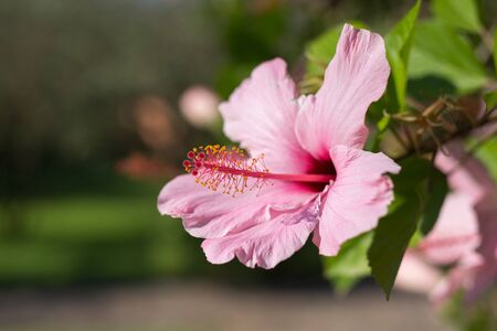 Pink Hibiscus Rosa-Sinensis: Beautiful Flowering Plant Banque d'images